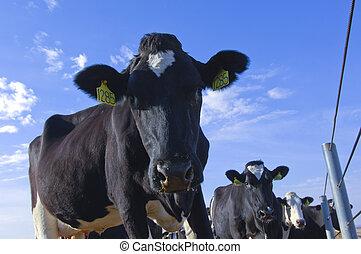 blaues, pflanze, bauernhof, himmelsgewölbe, sonnig, molkerei, kühe, tag