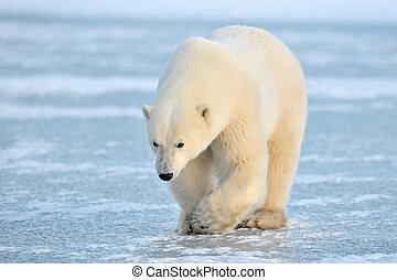 blaues, polar, gehen, ice., bär