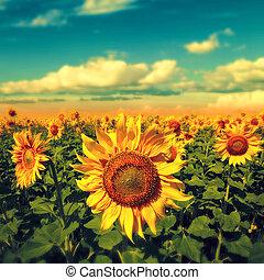 blaues, schöne , sky., szene, sonnenblumen, unter, ländlich