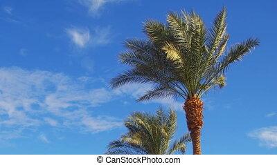 blaues, sommer, sky., bäume, handfläche, gegen, hintergrund
