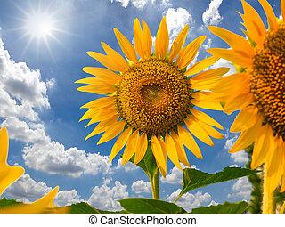 blaues, sonnenblume, sonne, himmelsgewölbe, gegen, feld,...