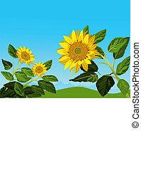 blaues, sonnenblumen, gegen, himmelsgewölbe