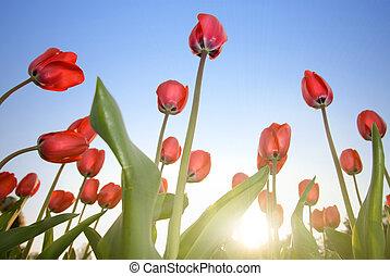 blaues, tulpen, himmelsgewölbe, rotes , gegen