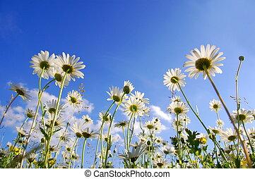 blaues, unterhalb, blume, himmelsgewölbe, gänseblumen