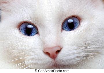 blaues, weißes, augenpaar, katz