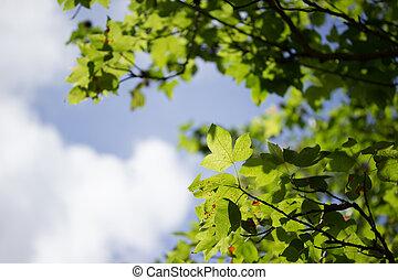 blauwe , agaist, bladeren, groene hemel