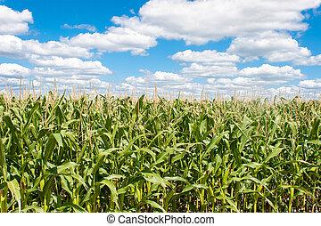 blauwe , akker, koren, hemel, landscape