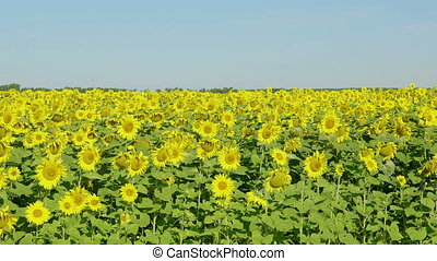 blauwe , bloeien, hemel, tegen, akker, zonnebloemen
