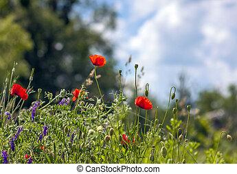 blauwe bloemen, hemel, vaag, groene achtergrond, klaproos, gras, rood