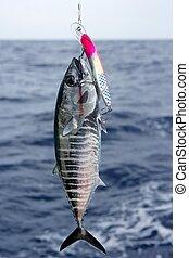 blauwe , bluefin, vangen, vrijgave, tonijn, vin