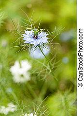 blauwe , close-up, bloem, nigella damascena, witte , of