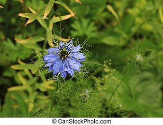 blauwe , damascena, nigella, bloem