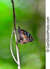 blauwe , de vlinder van de tijger, profiel, zijaanzicht