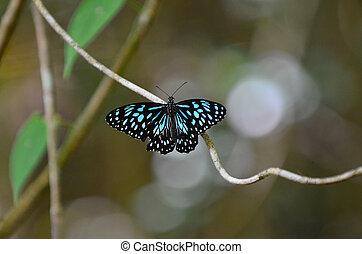 blauwe , de vlinder van de tijger