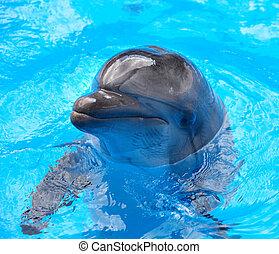 blauwe , dolfijn, water.