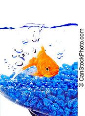blauwe , goudvis, bellen, kom, rotsen