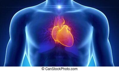 blauwe , hart, mannelijke , anatomie, scanderen