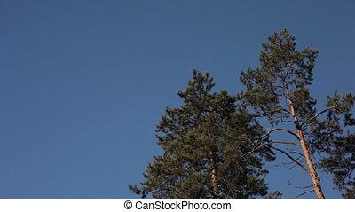 blauwe hemel, bomen, tegen, dennenboom
