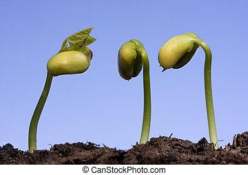 blauwe hemel, drie, tegen, boon sprouts