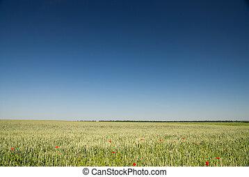 blauwe hemel, tarwe, groen veld