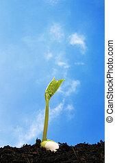 blauwe hemel, tegen, kiemplant