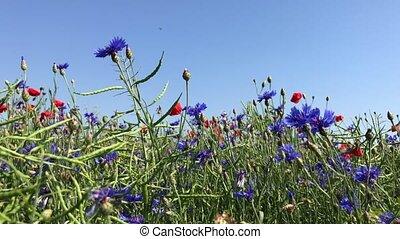 blauwe hemel, tegen, klaprozen, cornflowers, rood