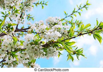 blauwe , lente, boompje, achtergrond, kers, bloeiend, hemel