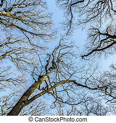 blauwe , lente, duidelijk, eik, bomen, onder