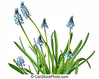 blauwe , lentebloemen, op wit
