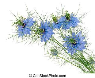 blauwe , liefde-in-een-mist, nigella, -, vrijstaand, damascena., white., bloemen