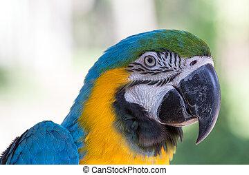 blauwe , macaw, bali, papegaai, indonesie, gele, park, vogel