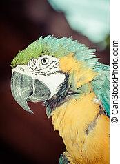 blauwe , macaw, gele