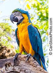 blauwe , macaw, papegaai