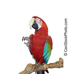 blauwe , macaw, vleugel, rood