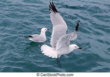 blauwe , op, seagulls, gulls, oceaan, zee, actief