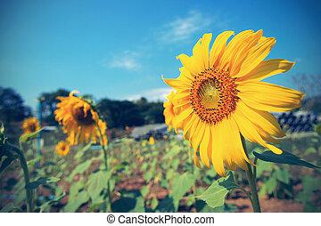 blauwe , ouderwetse , hemel, zonnebloem, tegen