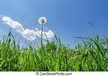blauwe , paardenbloem, hemelgebied, groen gras