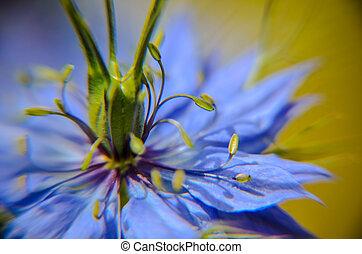 blauwe , plant, flowerbed, nigella, schaduwen, anders, damascena, bloeiend, bloemen