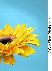 blauwe , sinaasappel, helder, bloem, achtergrond