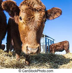 blauwe , stro, hemel, vriendelijk, vee
