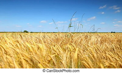 blauwe , tarwe, goud, koren, hemelgebied