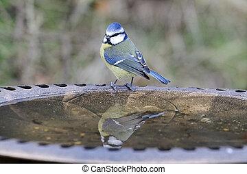 blauwe tit, parus, caeruleus