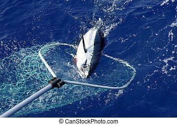 blauwe , vin, tonijn, middellandse zee, visserij, en,...