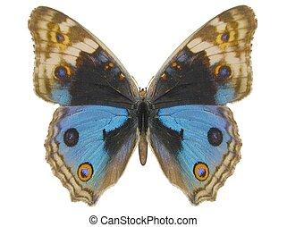 blauwe , viooltje, vlinder