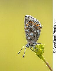 blauwe , vlinder, druppels, chalkhill, dauw