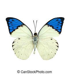 blauwe , vlinder, groot, fooi, vrijstaand, witte