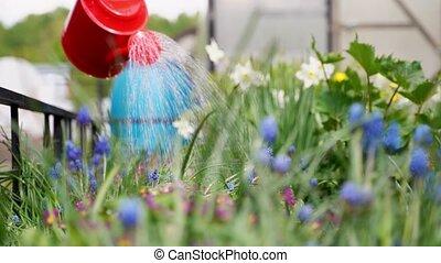 blauwe , werf, dacha, verpulveren, persoon, daffodils,...