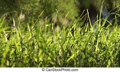 blazen, licht, lang, groene, uncut, achtergrond, gras, wind