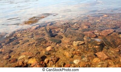bleak fish spawning - spawning season of bleaks (Alburnus...