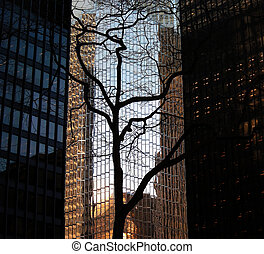 A stark, leafless tree silhouetted against skyscrapers, in the financial district, downtown Toronto, Ontario, Canada.